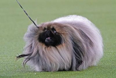 Este perro fue elegido el más lindo del mundo y hay polémica