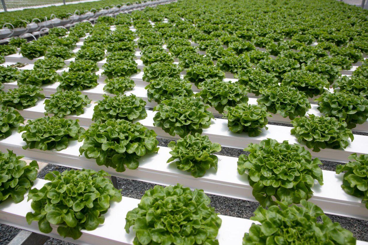 Empresa local aumenta producción de lechuga