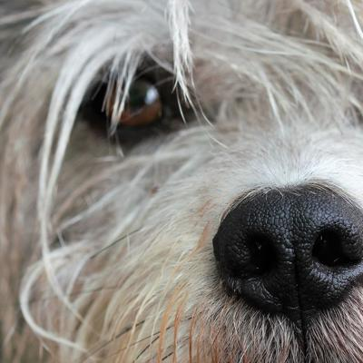 Primer caso de perro que da positivo a coronavirus