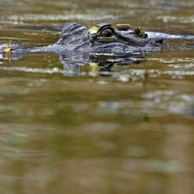 Después de estar al borde de la extinción, la población de cocodrilos en Luisiana se está recuperando