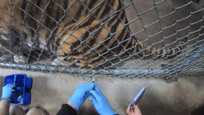 Zoológico de Oakland vacuna contra el covid-19 a felinos y hurones