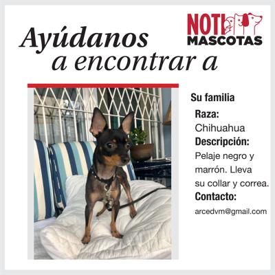 Chihuahua encontrado en Miramar
