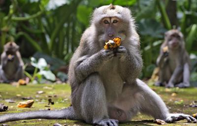 Ante la falta de turistas por la pandemia, los monos de Bali ahora asaltan las casas