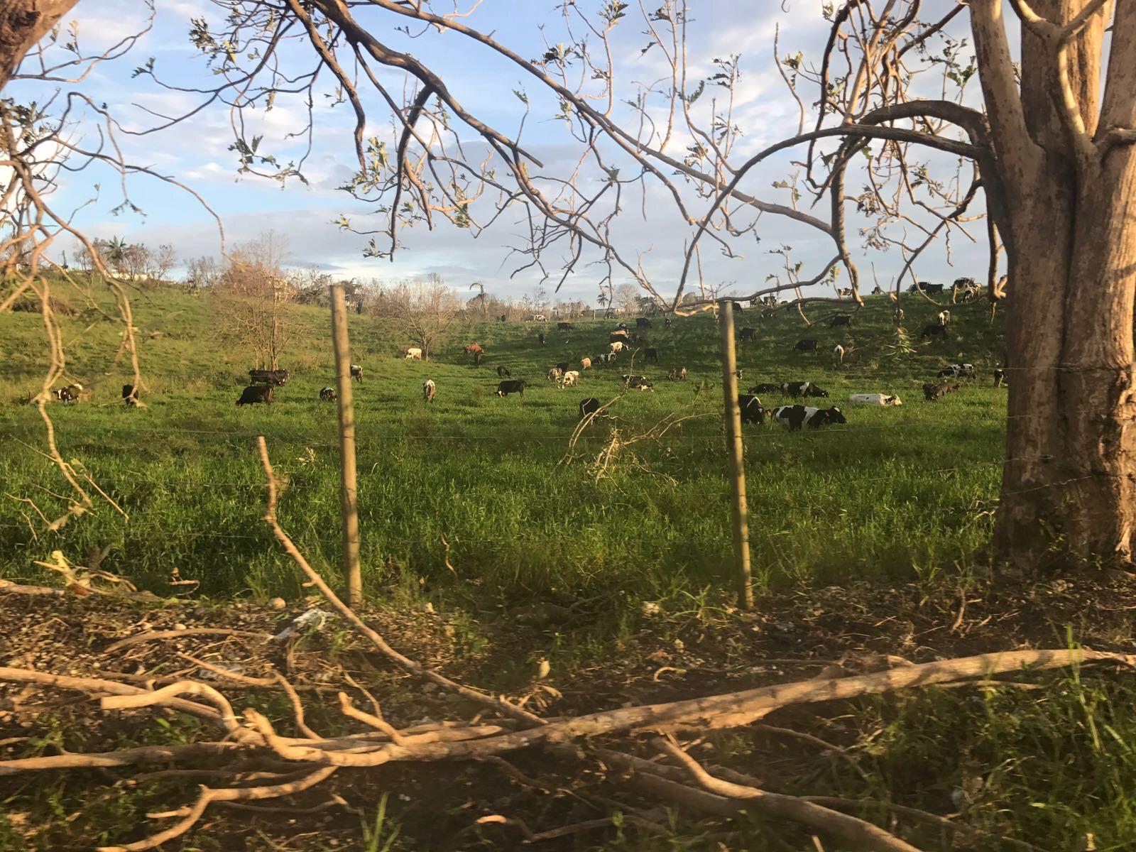 Se reporta hurto de ganado en Hatillo