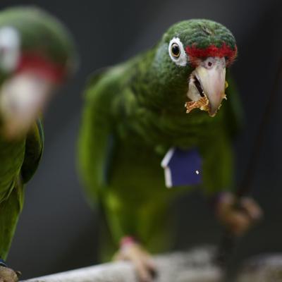 Cuesta arriba la reproducción de aves a dos años de María