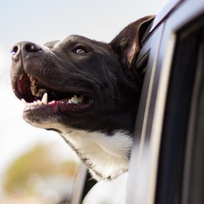 No hay evidencia que apunte a que las mascotas transmiten el coronavirus
