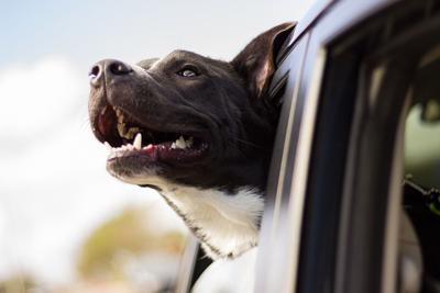 Perro en carro