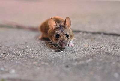 Ratón se come parte del ojo de una mujer mientras dormía