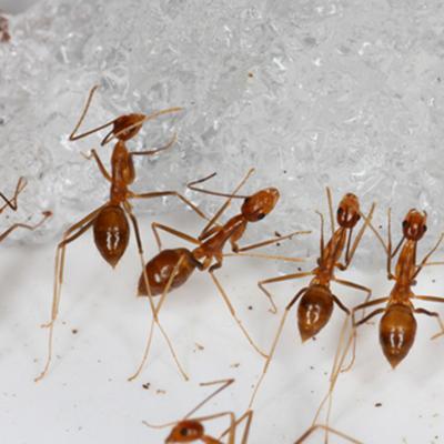 Erradican a hormiga que mataba aves en islote del Pacífico