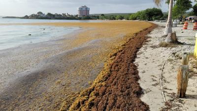 El sargazo se apodera de varias playas de Guánica y Cabo Rojo