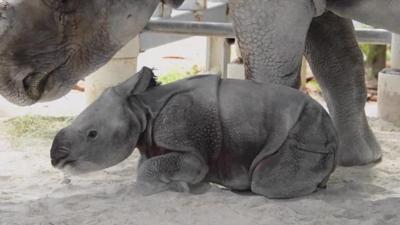 Mama Rhino da a luz a un ternero después de 488 días de embarazo