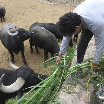Zoológico peruano alimenta animales con su propia cosecha