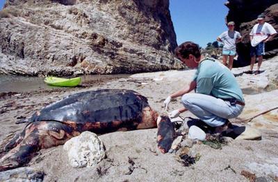 El estado de California le dará más protección a las tortugas laúd