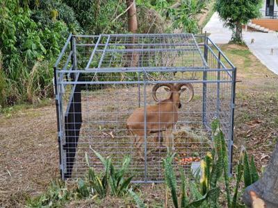 Atrapan a arruí que se escapó del zoológico de Mayagüez