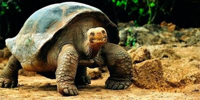 Encuentran en Galápagos una especie de tortuga que creían extinta hace más de un siglo