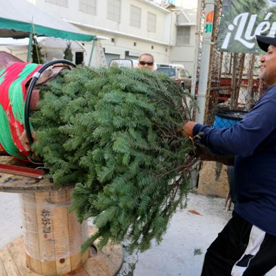 Fervor por los árboles navideños