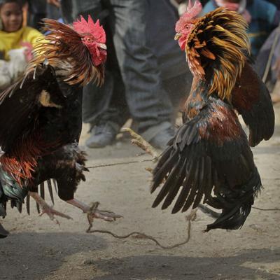 Gallo mata a dueño durante pelea de gallos ilegal en India