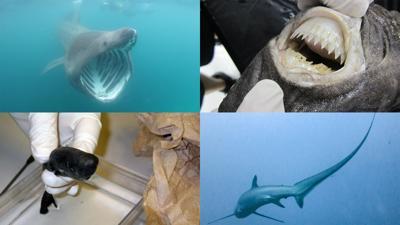 Uno de estos cuatro tiburones fue elegido como el más raro del mundo