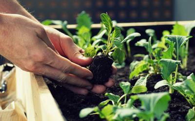 planting vegetable seedlings such as kohlrabi and radishes in a raised bed on a balcony