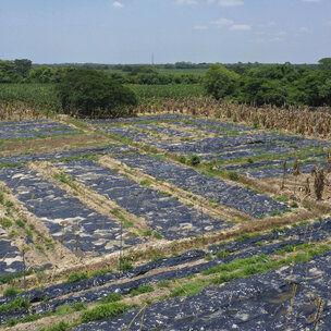 Plaga está afectando cosechas de banano en Latinoamérica