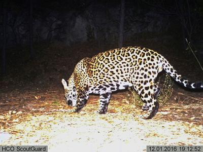Grupos piden reintroducción de jaguares en el suroeste de Estados Unidos