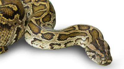 La Policía encuentra decenas de serpientes en una residencia
