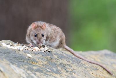 CDC advierte sobre aumento de actividad en ratas