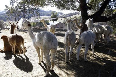 Indultan a puma de Malibu que mató a alpacas