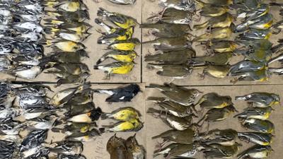 Cientos de aves se estrellan contra los rascacielos de Nueva York