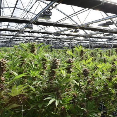 Ha cambiando el rostro de la industria del cannabis en Estados Unidos