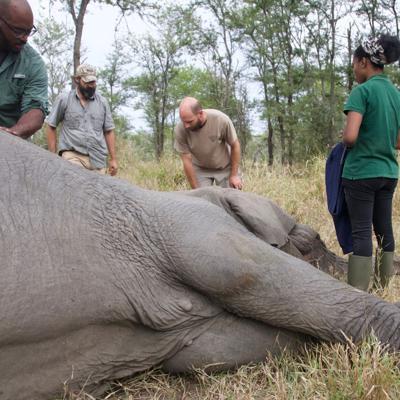 ¿Por qué no hay colmillos? La caza furtiva inclina la balanza de la evolución del elefante