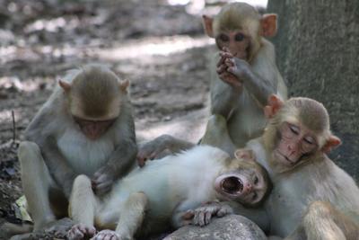 Macacos rhesus en la Isla construyen nuevas conexiones sociales