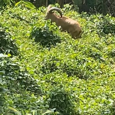 Continúa la búsqueda de arruí en Mayagüez