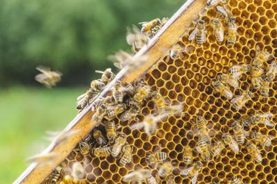 Disminución en abejas tiene que ver con el wifi