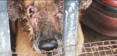 No radicarán cargos contra el dueño de un perro maltratado al que tendrán que sacrificar