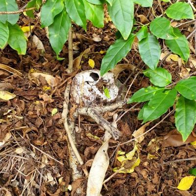 Hombre encuentra cráneo humano en Arecibo