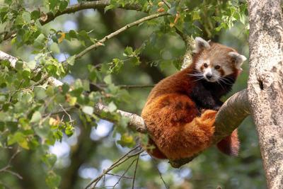 Buscan panda rojo que se escapó de un zoológico en Francia