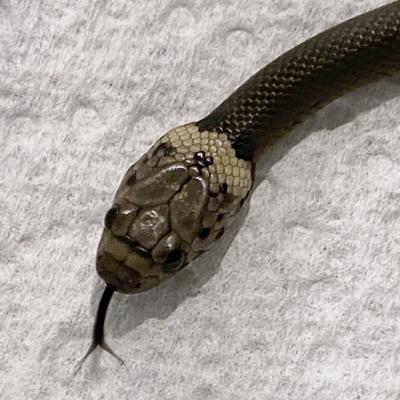 Un hombre encuentra serpiente en la lechuga del supermercado