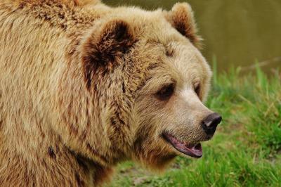 Sentencian a muerte a oso que atacó a turistas