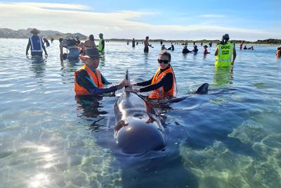 Voluntarios de Nueva Zelanda reflotan a 28 ballenas varadas
