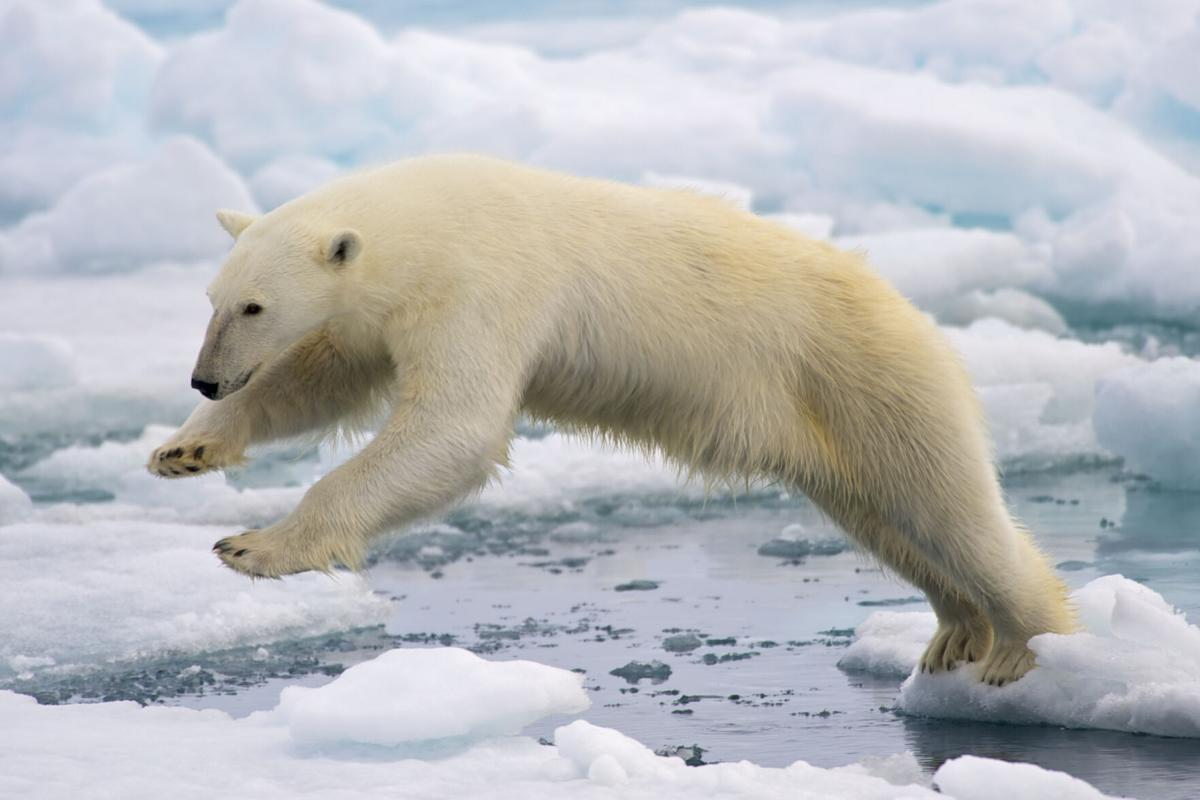 Frame-filling portrait of a young Polar Bear male jumping in the pack ice
