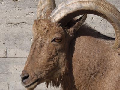 Se escapa arrui del zoológico de Mayagüez