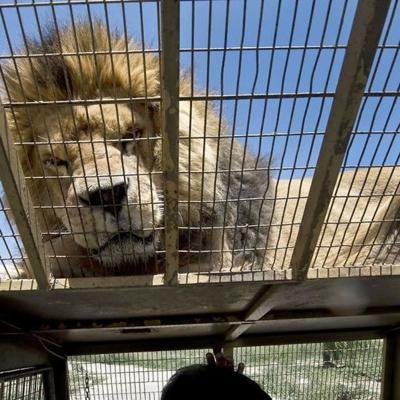 Hombre muere después de ser atacado por leones