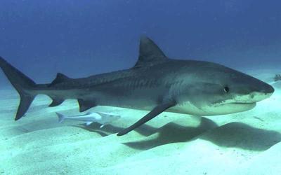Encuentran brazos humanos dentro de tiburón
