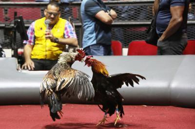 Gobierno se une como amigo de la corte en el caso sobre las peleas de gallos