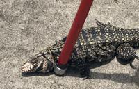 Capturan dragón de Komodo en Las Piedras