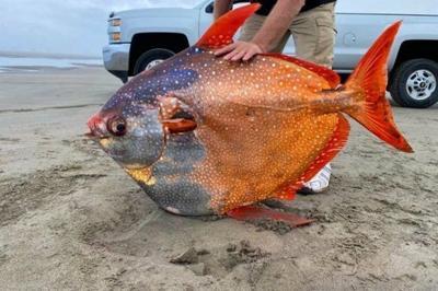 Hallan sin vida a un gigantesco pez Luna en Oregon, que pesaba 99 libras