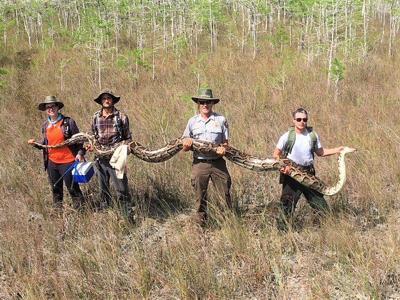 Encuentran una pitón gigantesca en el sur de Florida
