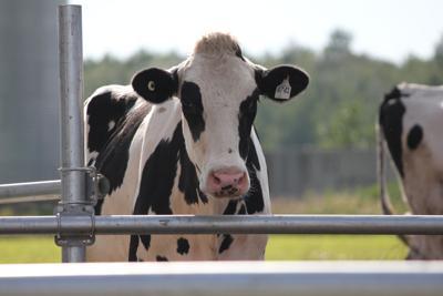 vaca holstein