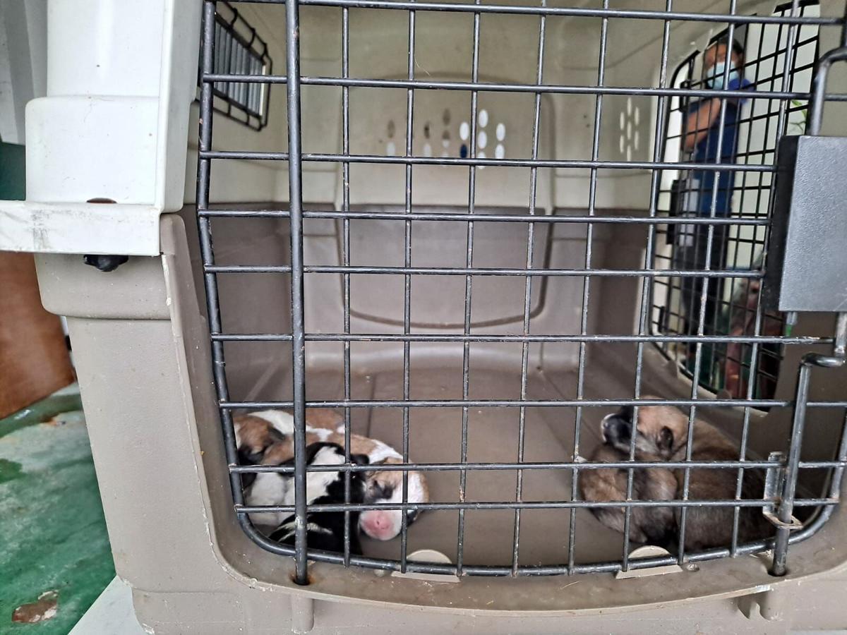 Rescatan a 51 perros de una residencia en Bayamón